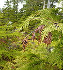 A lateral shoot of yellow-cedar recently killed by yellow-cedar shoot blight (Kabatina thujae).