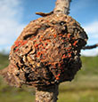 Nectria fungus fruiting on a western gall rust gall.