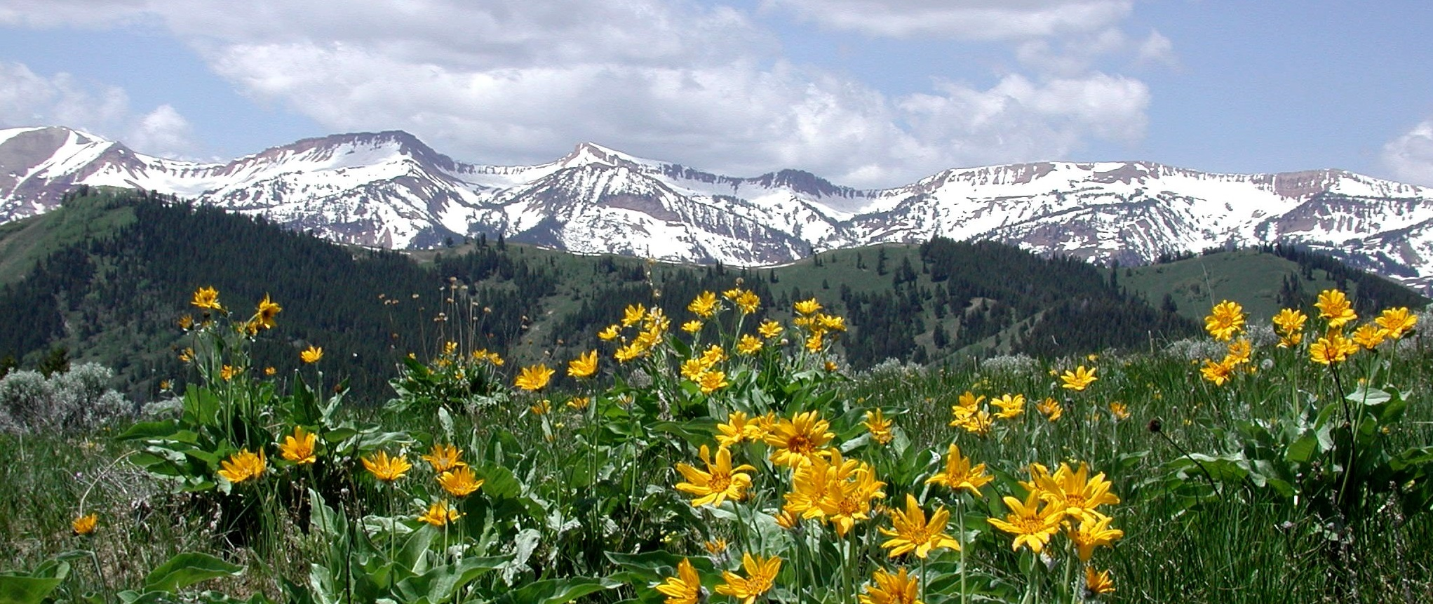 Arrow-leaf Balsam Root flowers on Monument Ridge with snow covered mountain in background.