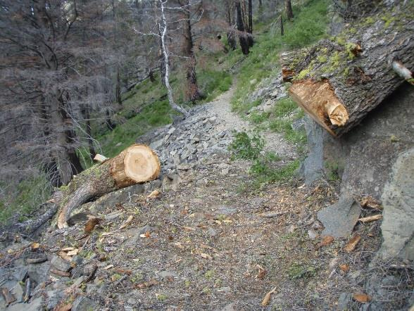 Photo of a tree that is cut in half. The tree is on each side of a trail.