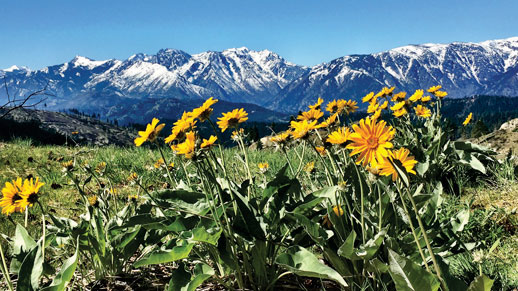 Cascade mountains in distance, Balsamroot wildflowers in foreground