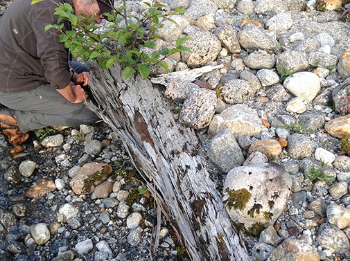 Patterson Glacier Ancient buried wood from the pre Little Ice Age forest