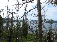 Yellow-cedar snags and declining live trees in a forest near Peril Strait, Chichigof Island.