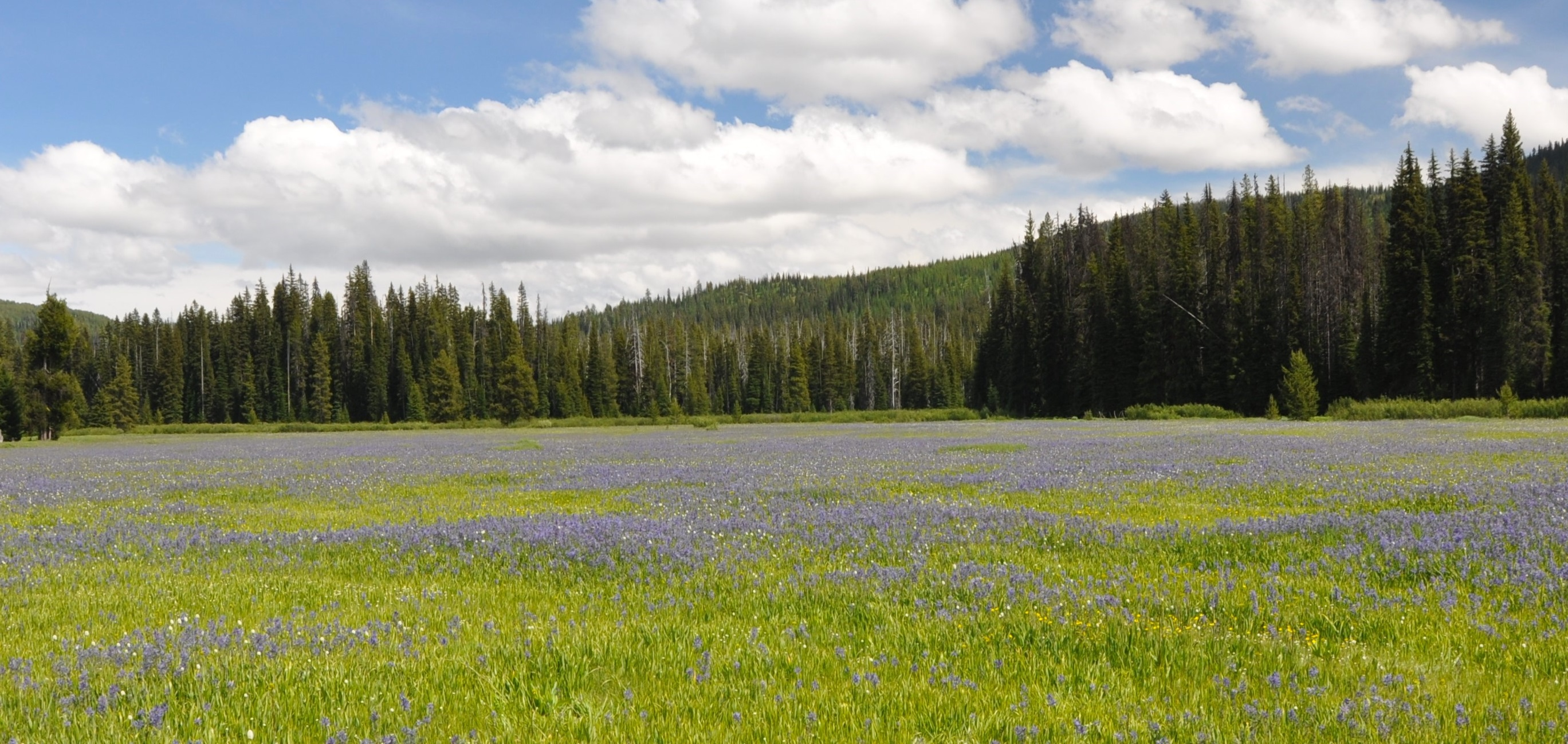 Camas bloom at Packer Meadows