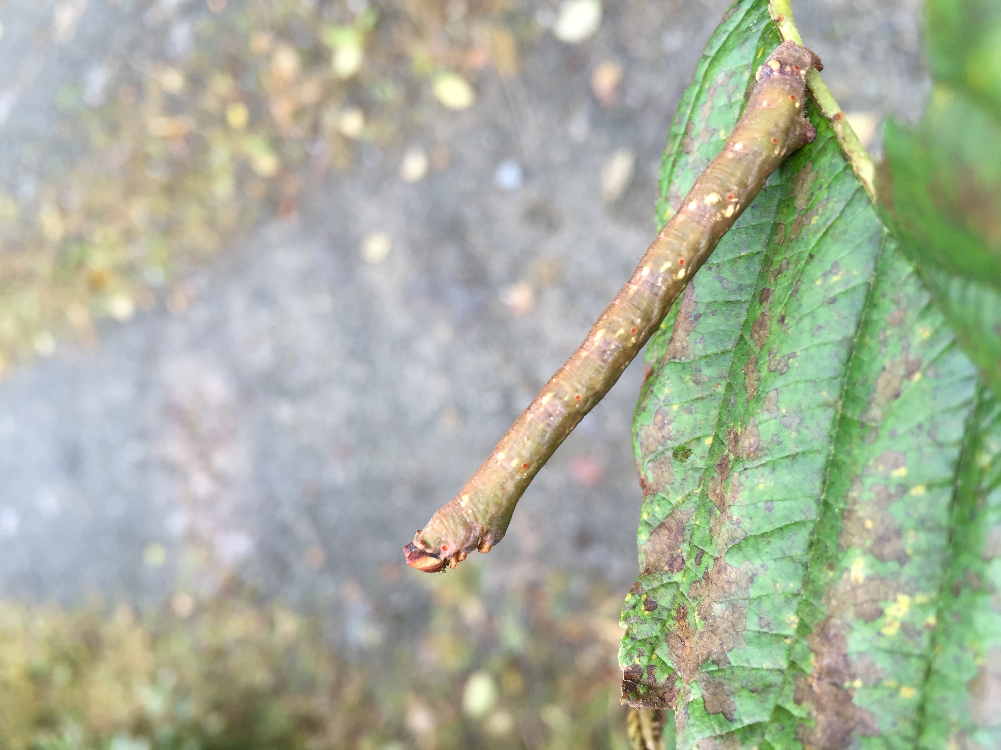 Caterpillars of the pepper moth mimic alder branches so they can safely feed unnoticed