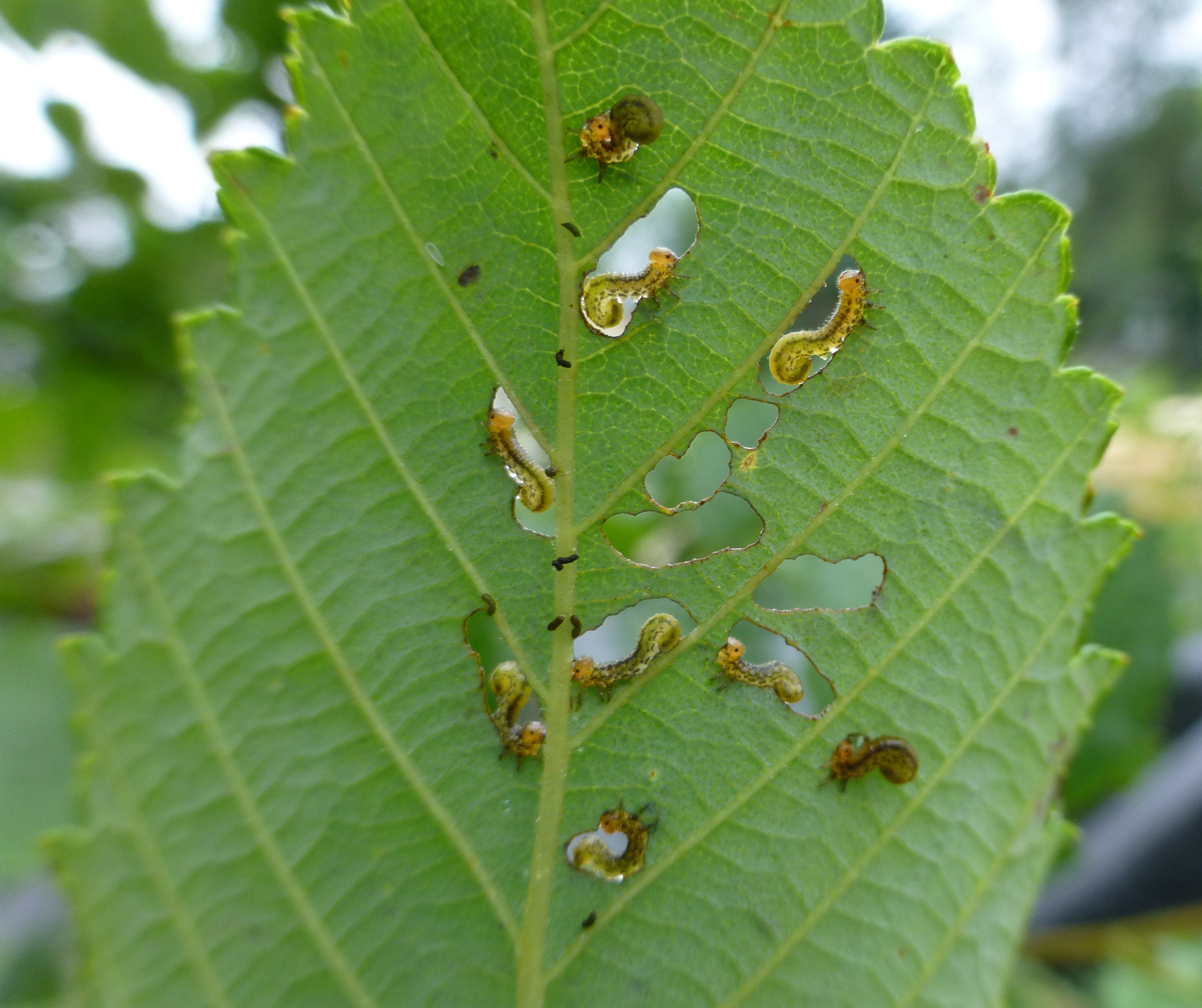 Striped alder sawflies initially create distinct feeding patterns in the leaves
