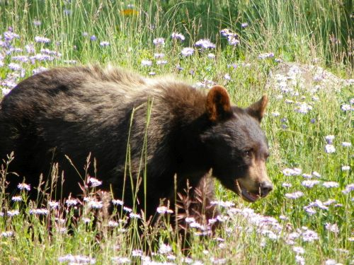 Black Bear walking through field of wildflowers