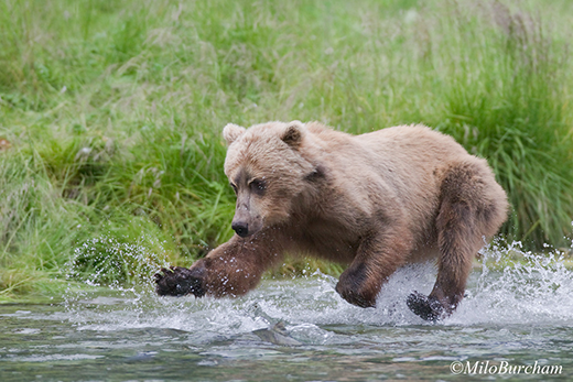 Brown bear (Ursus arctos) with cub in Prince William Sound jumps at a fish.