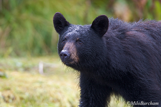 Black bear (Ursus americanus) in Prince William Sound.