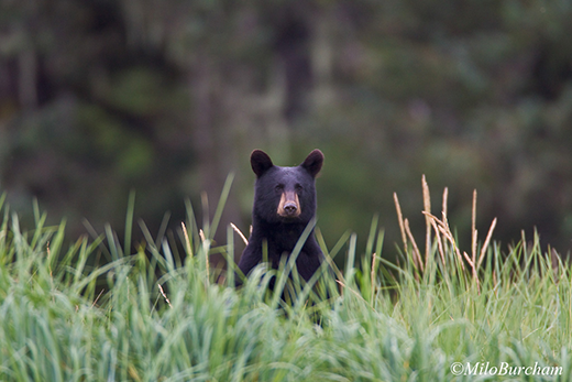 Black bear (Ursus americanus) peers over the grass in Prince William Sound.