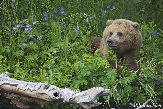 Brown bear (Ursus arctos) laying in the wild flowers on the Kenai Peninsula.