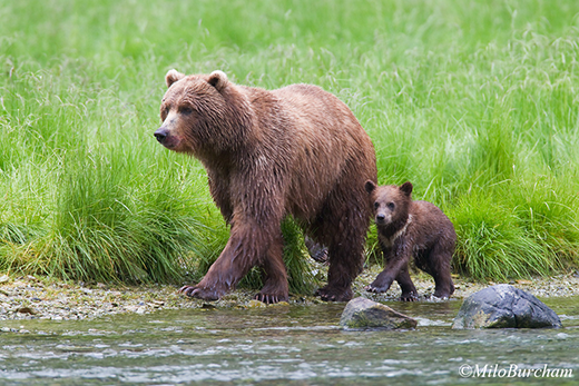 Brown bear (Ursus arctos) with cub in Prince William Sound.