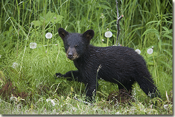 Black bear (Ursus americanus) walking in the dandelions.