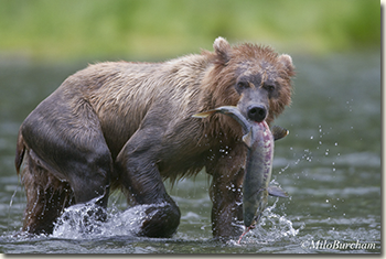 Brown bear (Ursus arctos) holding it's fish while walking in the creek.