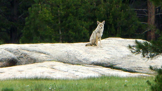 A lone coyote sits on Grinding Stone Rock.