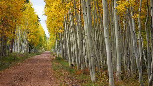 Bright Aspen trees along Forest Road 291, North Kaibab District