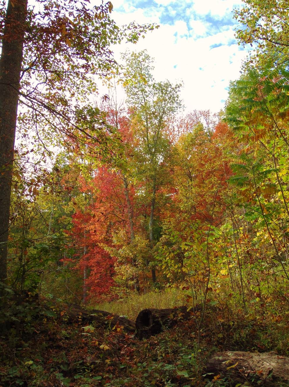 Maple trees show red amongst the yellowing of the fall forest.