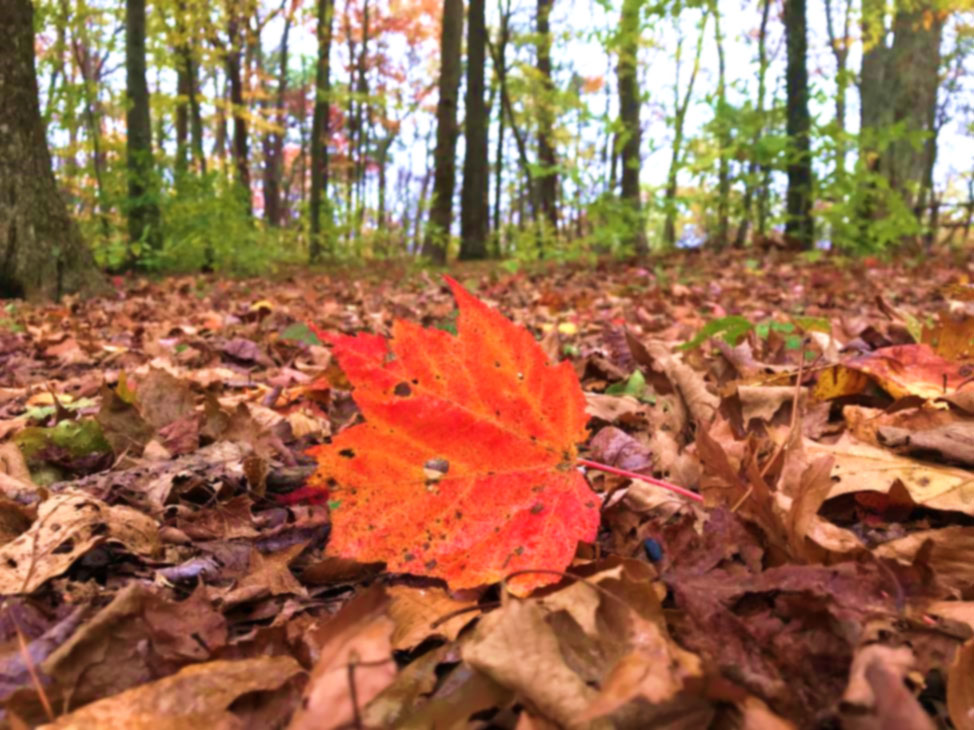 A red maple leaf pops out from the brown canopy floor.
