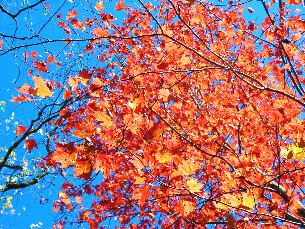 The red and yellow leaves of an autumn maple jump from the background of a clear blue sky