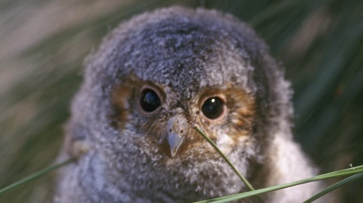 Photograph of a flammulated owl chick