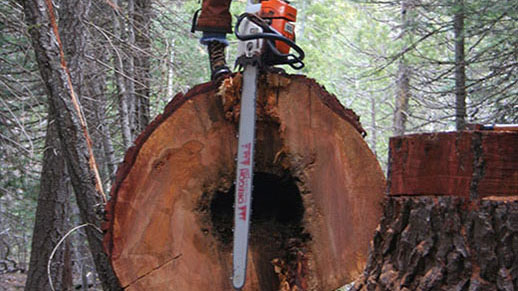 Sawyer with high visibility safety Personal Protection Equipment stands on large felled tree.
