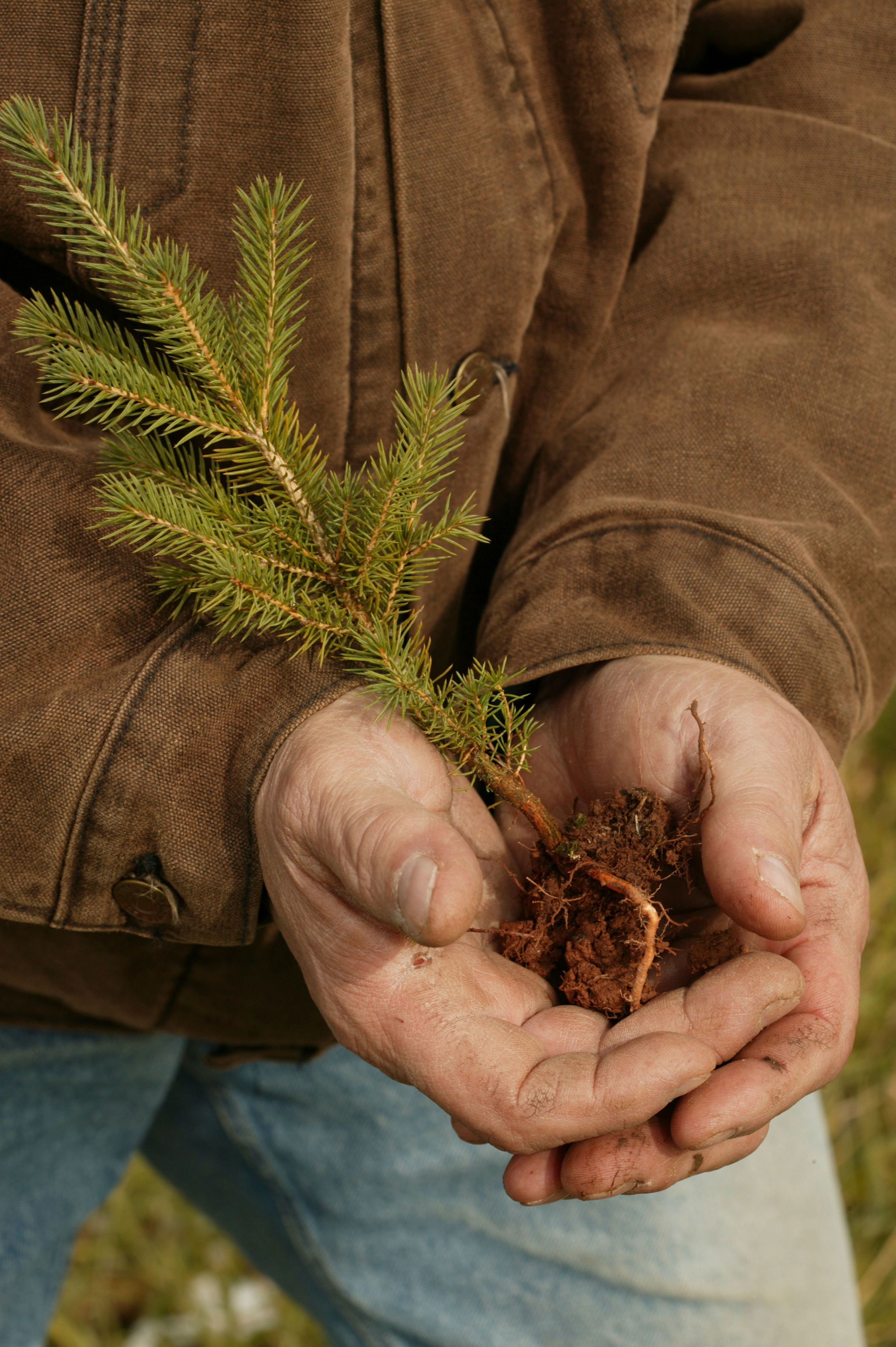 Photograph of hands holding a evergreen seedling ready for planting.