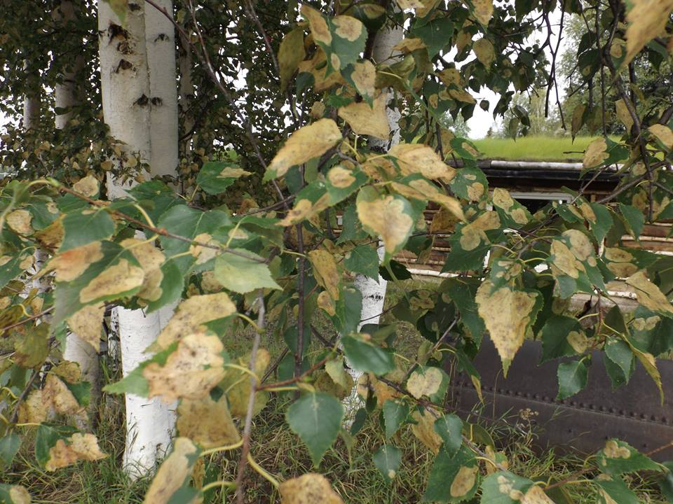 During outbreaks invasive birch leaf miners can impact >90% of a trees leaves