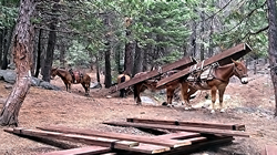 Pack animals loaded down with timber on their backs standing in the forest