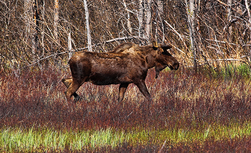 A moose at Moose Flats scurrying across the colorful meadow.