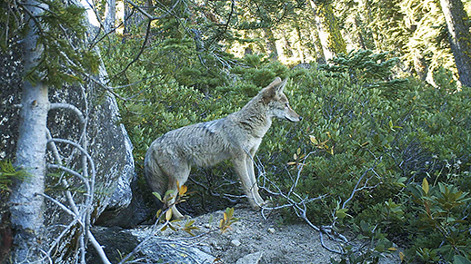 Coyote stands next to a boulder with the forest in the background.