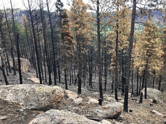 Photo of a non treated area that shows burned trees.