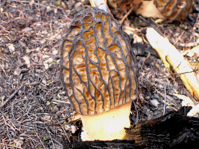 photograph of a morel mushroom in a fire-burned area