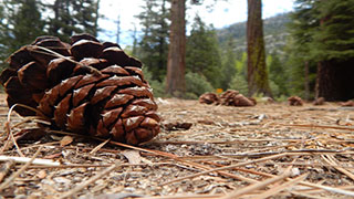 Photograph of evergreen cones on the forest floor.