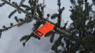 photograph of a christmas tree, freshly cut and tagged