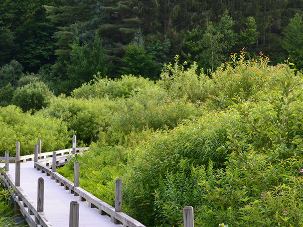 The accessible boardwalk along the Thundering Falls trail pushes through tall summer marsh grasses.