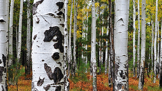 Aspen Trees in fall (Taken by  Simon Cox)