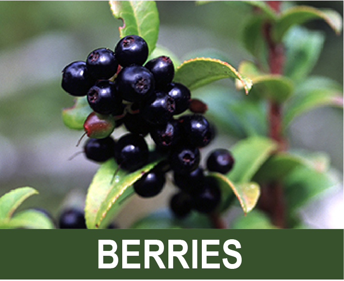 Click for info on berry harvesting