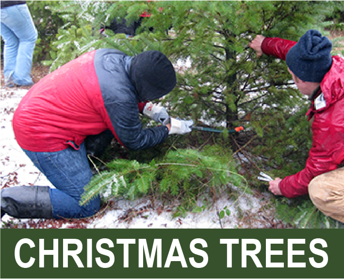 Click for info on Christmas tree cutting