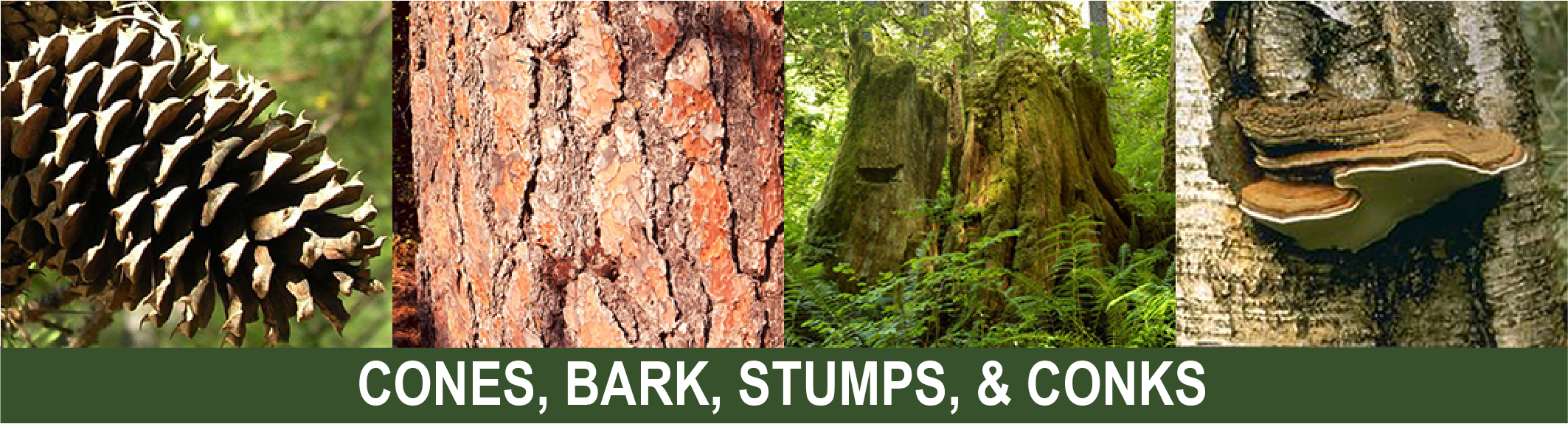 Click for info on cones, bark, stumps, and conk collecting