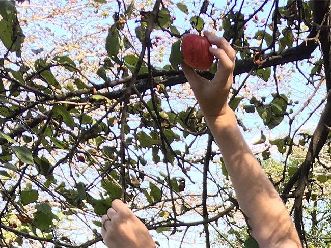 A hand reaches from the bottom of the frame to pluck a ripe red apple from a tree
