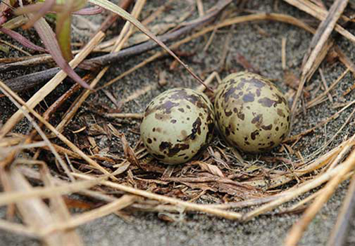 Aleutian Terms nest with two eggs