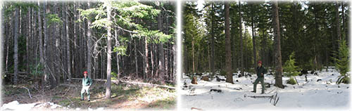 A side by side image of a unthinned and thinned forest