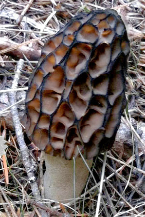 Okanogan-Wenatchee National Forest - Forest Products Permits on morel mushrooms in texas, morel mushrooms in oregon, morel mushrooms in colorado, morel mushrooms that are poisonous, morel mushrooms in illinois, michigan morel map, morel mushrooms wisconsin, morel map location 2015, morel mushrooms in alabama, sweet potato map, morel mushrooms in west virginia, chanterelle mushroom map, morel mushrooms indiana, morel mushrooms missouri, morel mushrooms in iowa, morel mushrooms michigan, morel mushrooms north carolina, morel mushrooms in mn, morel mushroon, oyster mushroom map,