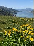 Balsamroot blooming at Mosier Plateau
