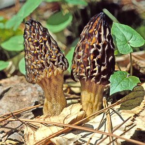 Image of morel mushrooms