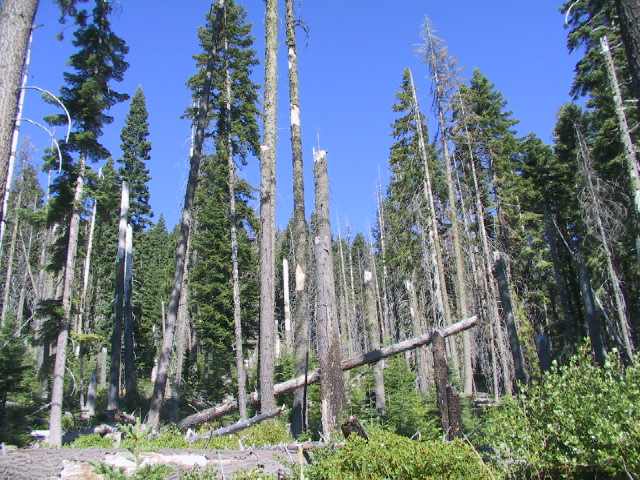 Stand of trees with mortality from Armillaria rot disease