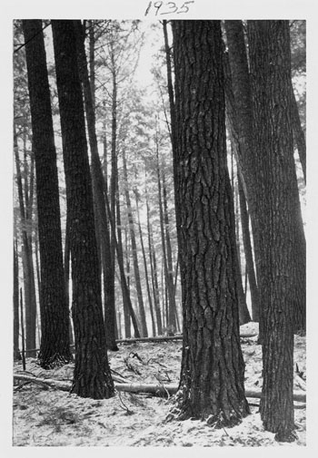 A 1935 photo of Cathedral Pines
