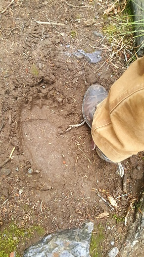 Grizzly Bear Track