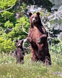 Mom and baby bear standing in meadow