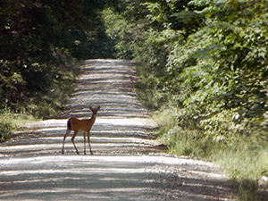 Deer on the road to Bouton Lake on the Angelina National Forest.